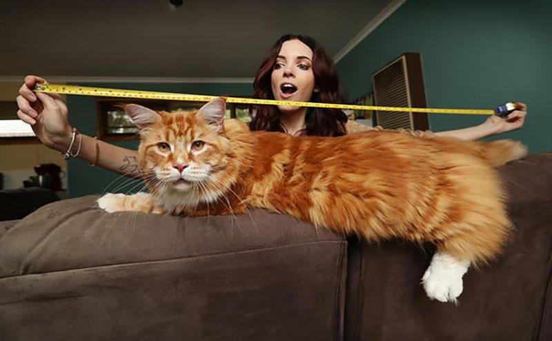 شاهد أطول قطٍّ في العالم