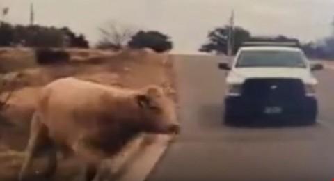 تكساس: الشرطة تطارد بقرة لمدة ساعتين