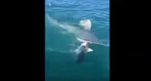 معركة شرسة بين سمكتي قرش تنتهي بفقد إحداهما لنصفها