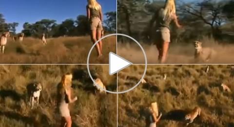 فيديو مرعب لفتاة وسط مجموعة من النمور