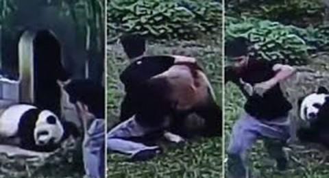 رجل صيني يقتحم حظيرة باندا عملاق ويتصارع معه